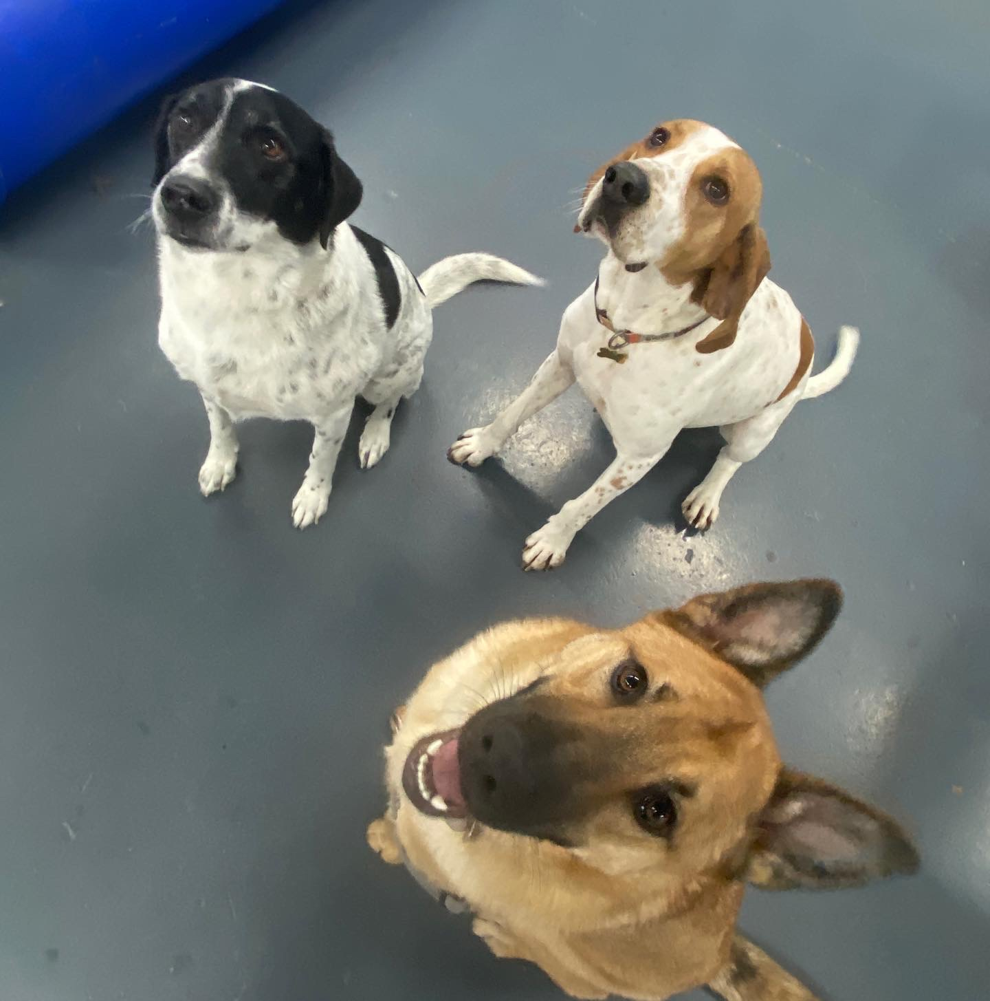 3 dogs of different breeds hanging out in the playroom