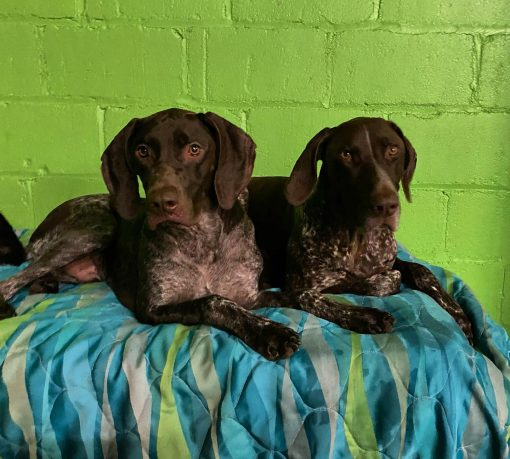 2 brown dogs lying on a blanket in a green playroom
