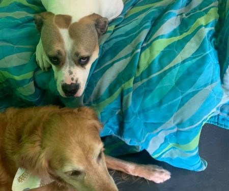 2 dogs relax on a blanket inside
