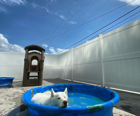 White dog relaxes in the pool outside in the play area