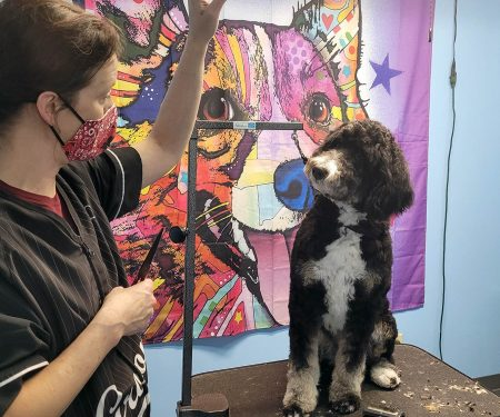 Groomer working with black and white dog